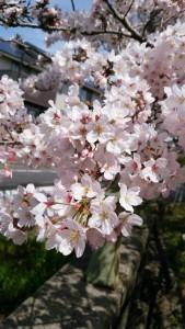 お花見🌸_5516